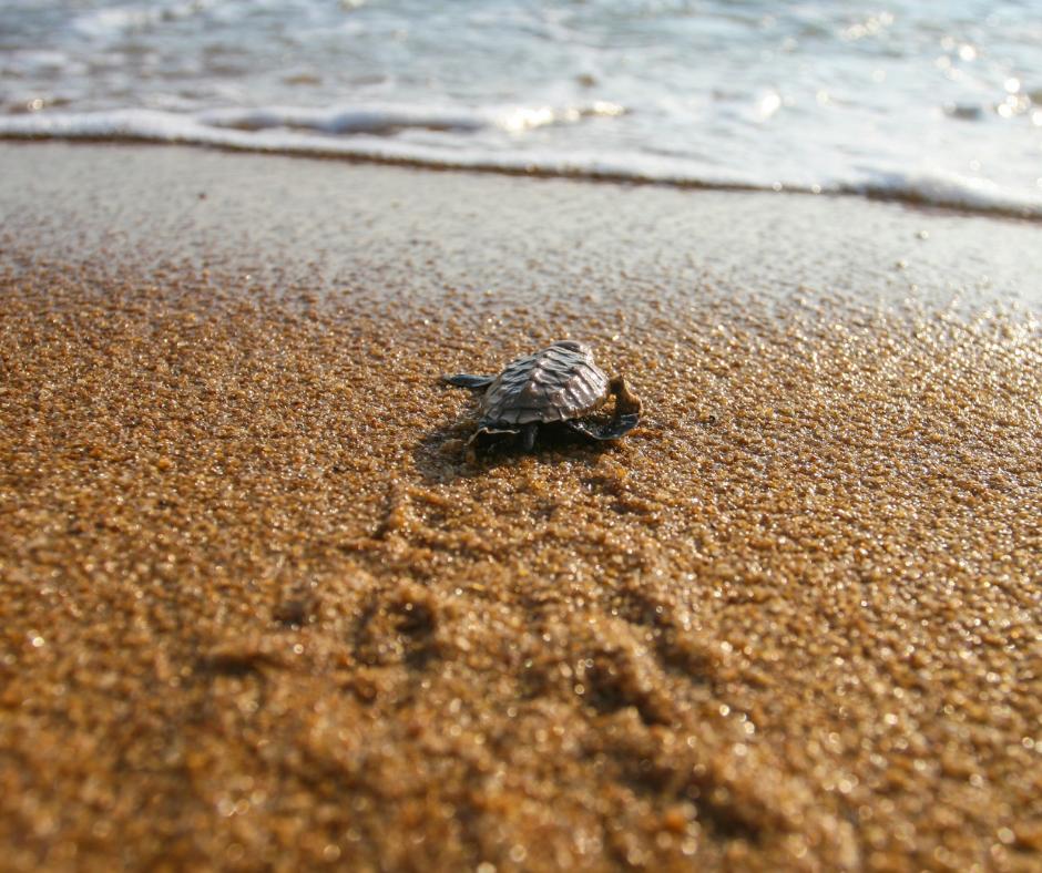 Season for turtle nesting in Tortuguero